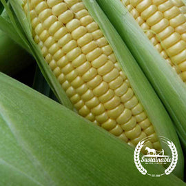 IMPROVED Golden Bantam Corn Seeds - Non-GMO