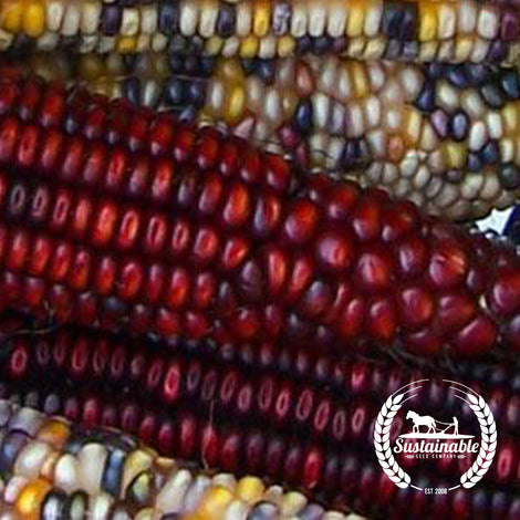 Wampum Corn Seeds - Non-GMO Vegetables