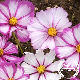 Cosmos Candystripe Flower Seeds
