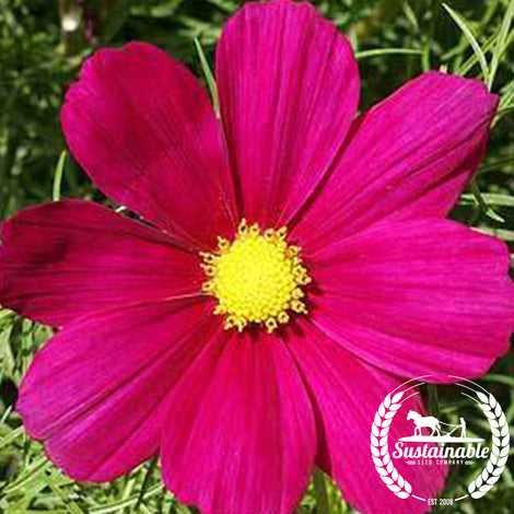 Cosmos Dazzler Flower Seeds