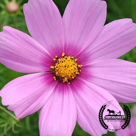Cosmos Gloria Flower Seeds