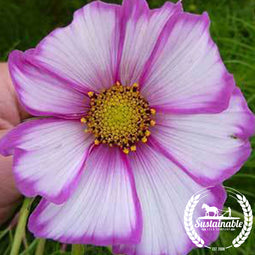 Cosmos Picotee Flower Seeds