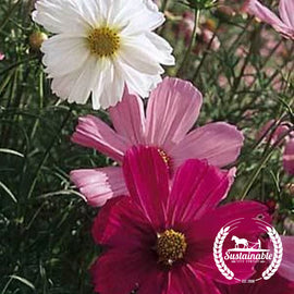 Cosmos Sensation Mix Flower Seeds