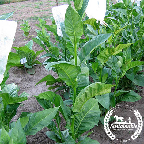 Costa Rica Tobacco Seeds