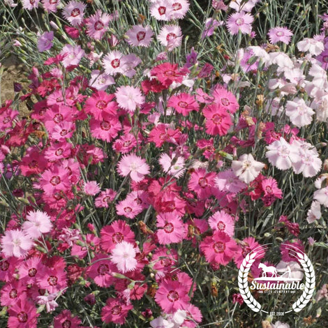 Cottage Pinks Flower Seeds
