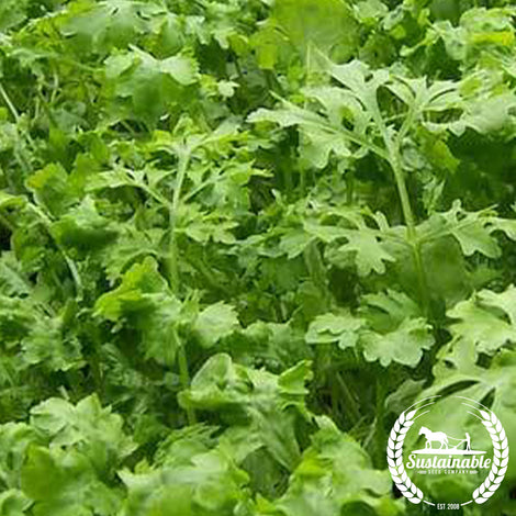 Wrinkled Crinkled Cress Herb Seeds - Non-GMO