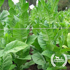 Cuban Criollo 98 Tobacco Seeds