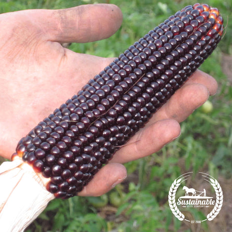 Organic Dakota Black Popcorn Seeds