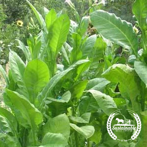 Delgold Tobacco Seeds