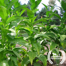 Dominican Republic Tobacco Seeds