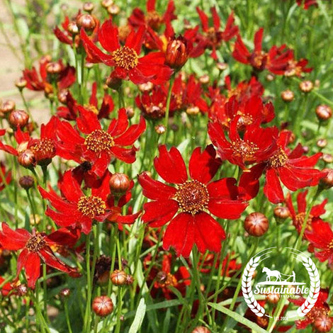 Dwarf Red Coreopsis Flower Seeds