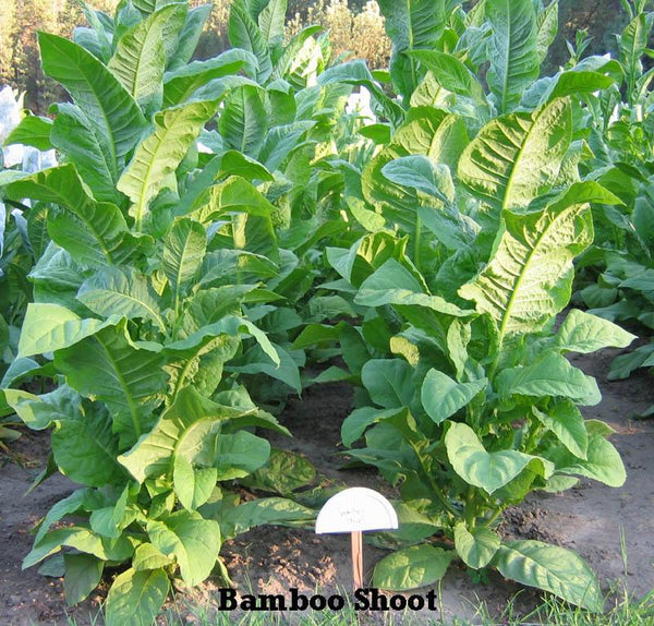 Bamboo Shoot Tobacco Seeds