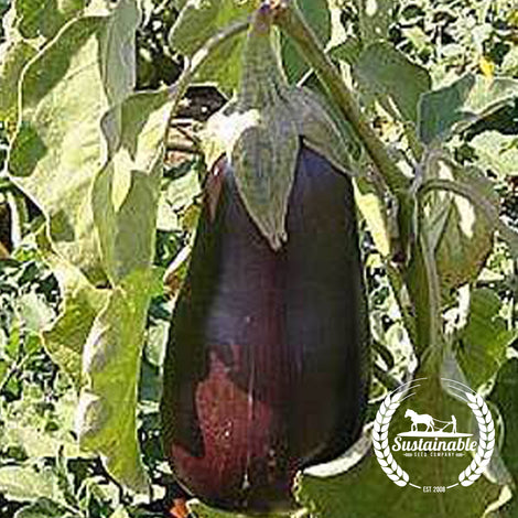 Florida High Bush Eggplant Seeds