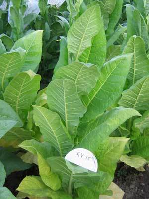 KY15 Tobacco Seeds