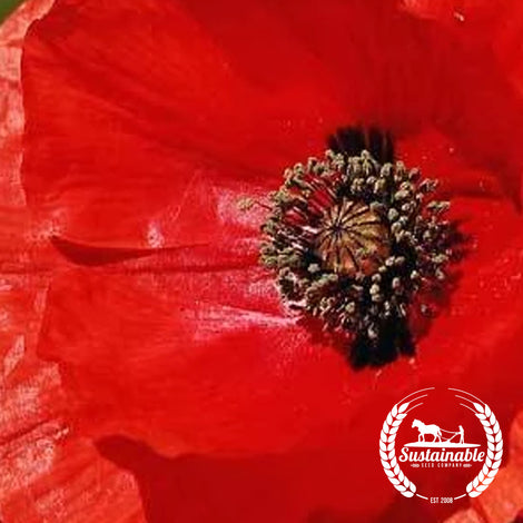 Flanders Red Poppy Flower Seeds