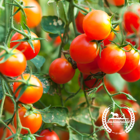 Florida Basket Tomato Seeds - Non-GMO