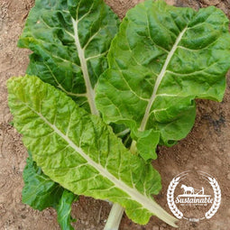 Organic Fordhook Giant Chard Seeds