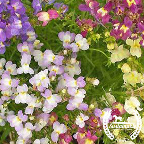 Free Linaria Fairy Bouquet Flower Seeds