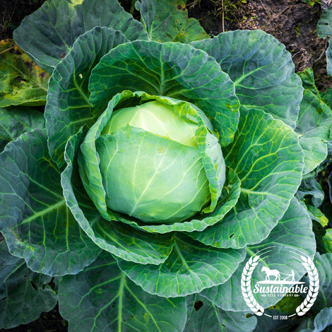 Glory of Enkhuizen Cabbage Seeds - Non-GMO
