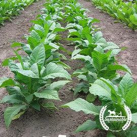 Gold Leaf 939 Tobacco Seeds
