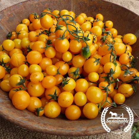 Gold Nugget Tomato Seeds - Non-GMO