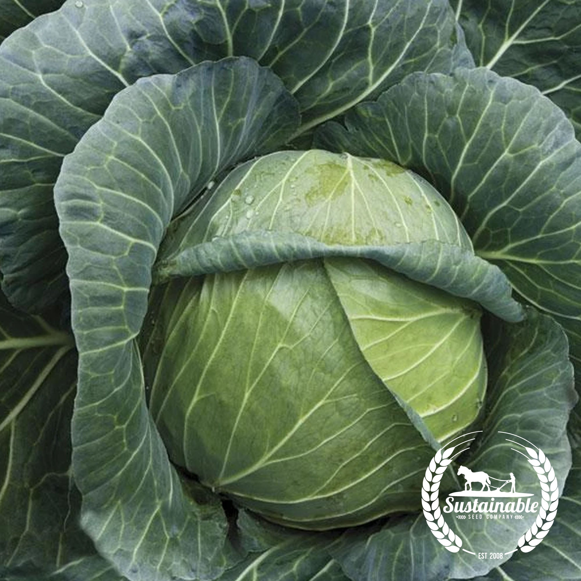 25+ SEEDS ORGANIC NON GMO HEIRLOOM GOLDEN ACRE CABBAGE CABBAGE SEED