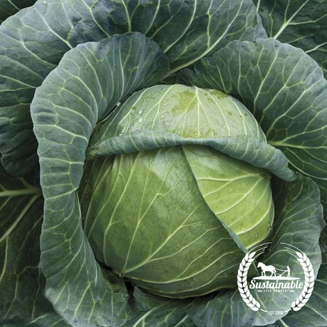 Organic Golden Acre Cabbage Seeds