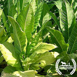 Golden Burley Tobacco Seeds