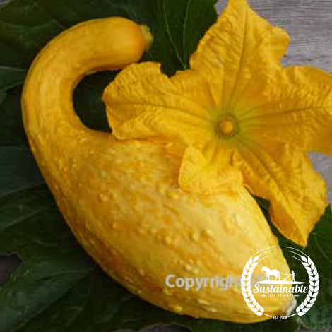 Golden Summer Crookneck Squash Seeds