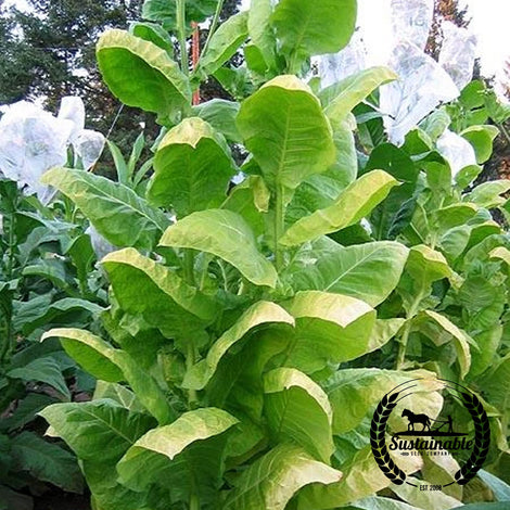 Golden Wilt Tobacco Seeds