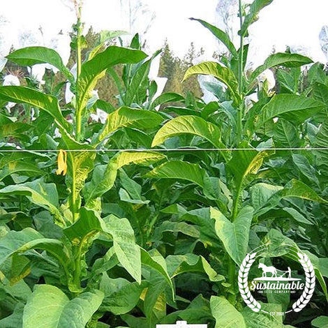 Goose Creek Red Tobacco Seeds