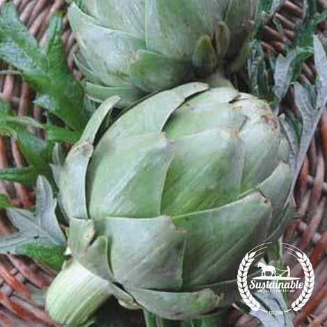 Green Globe Artichoke Seeds