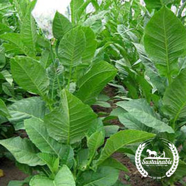Habano 2000 Tobacco Seeds