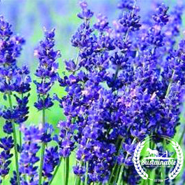 Hidcote Blue Lavender Flower Seeds