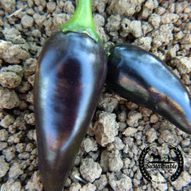 Jalapeno Purple Peppers