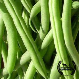 Landreth Stringless Bush Bean Seeds