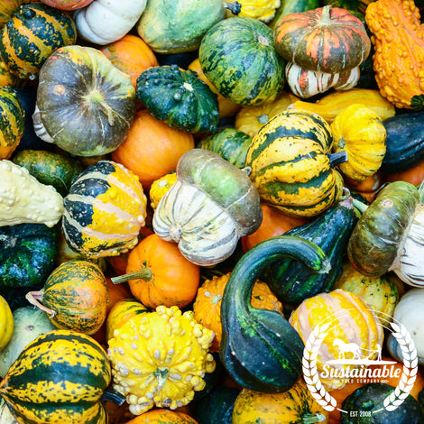 Large Mixed Gourd Seeds
