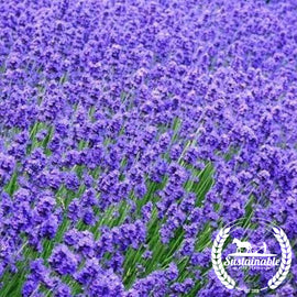 Munstead Lavender Garden Flower Seeds