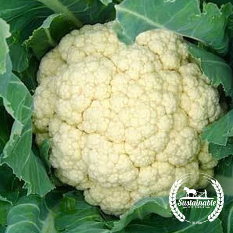 Lemington English Winter Cauliflower Seeds