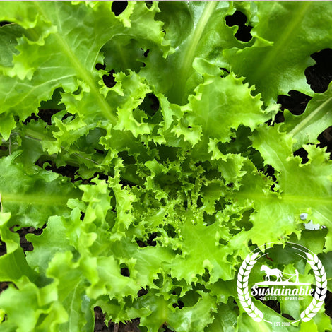 Grand Rapids Lettuce Seeds