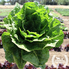 Paris Island Cos Lettuce Seeds - Non-GMO