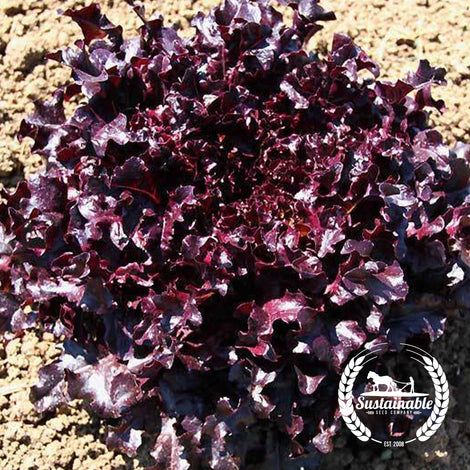 Organic Red Salad Bowl Lettuce Seeds - Non-GMO