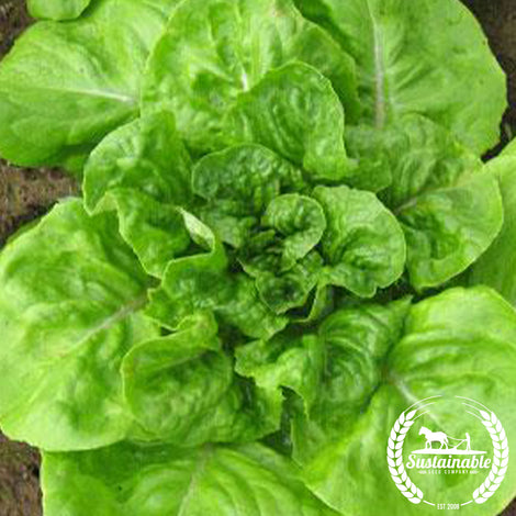 White Boston Lettuce Seeds - Non-GMO
