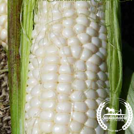 Organic Luther Hill Sweet Corn Seeds