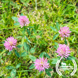 Organic Mammoth Red Clover Seeds - Non-GMO