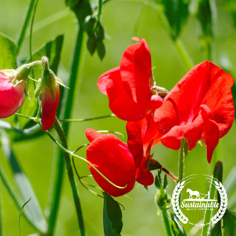 Mammoth Scarlet Sweet Pea Flower Seeds - Non-GMO