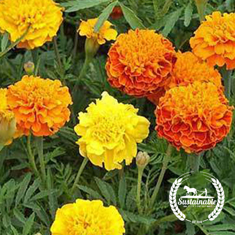French Marigold Petite Mix Flowers