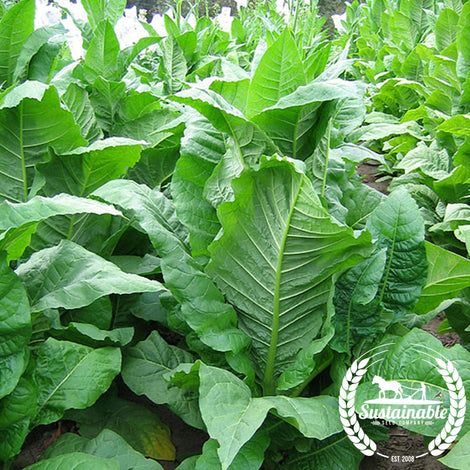 MD 609 Tobacco Seeds