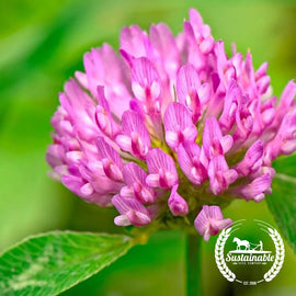 Organic Medium Red Clover Seeds - Non-GMO