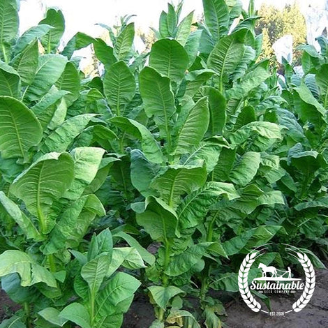 Moonlight Tobacco Seeds